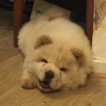 Pure Chow Chow Cream Puppy