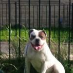Alapaha Blue X American Bulldog