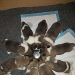 Japenese Akita Puppies For Sale