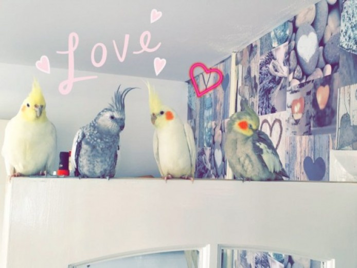 Lovely Lutino Cockatiel Looking For Forever Home