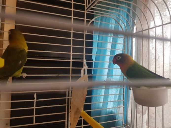 Beautiful Lovebirds For Sale