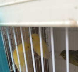 Pair Of Irish Canaries