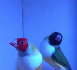 Gouldian Finch For Sale