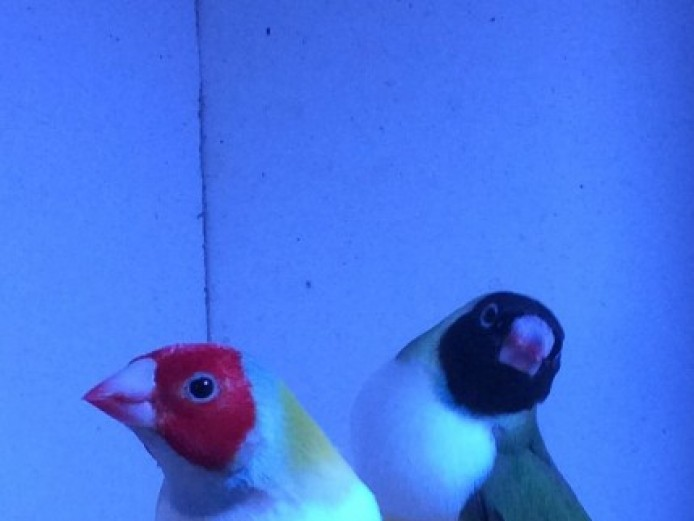 Gouldian Finch For Sale