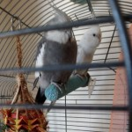 Pair Of Cockatiels Male And Female