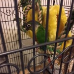 Young Parrot Looking For New Home