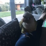 Friendly Pineapple Conure For Sale