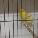 Pair Yellow Sanitette Canaries