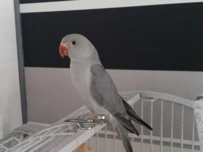 Baby Mix Ringneck Parrots