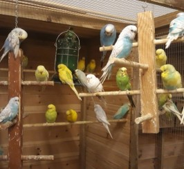 Pretty Budgies