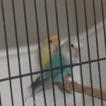 Stunning Breeding Pair Of Lovebirds