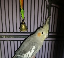 Female Cockatiel With Cage And Toys