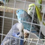 Various Aviary Birds For Sale.