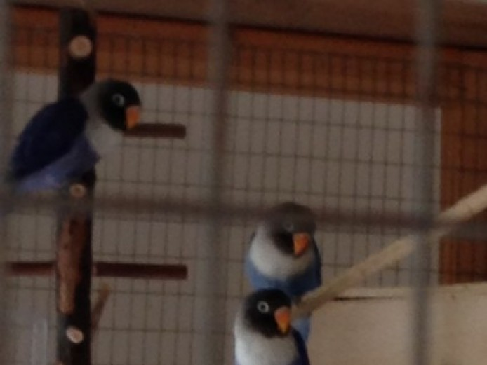 Baby Blue Masked Lovebird Pairs