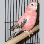 2 Bourke Parakeet