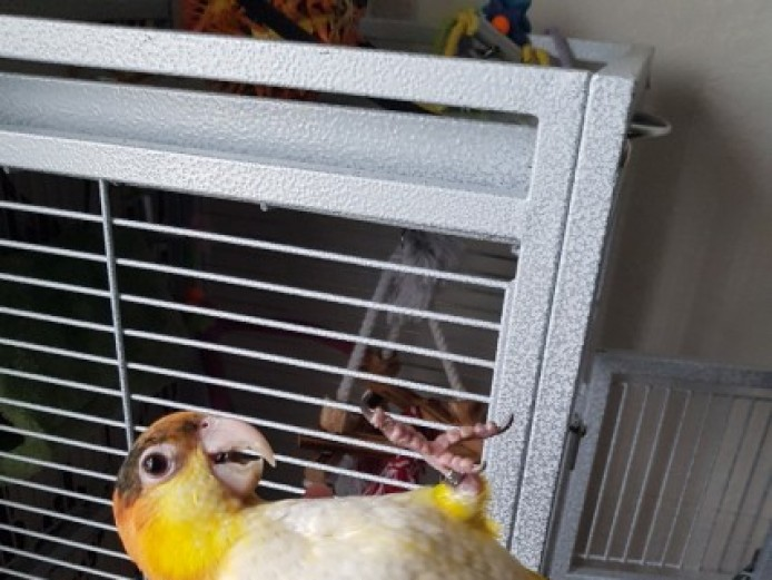 4 Months Baby White Bellied Yellow Thigh Caique