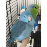 Breeding Pair Of Parrolets For Sale With Cage