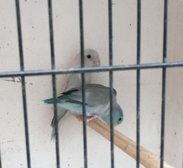 Pairs Of Parrotlets For Sale