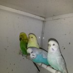 Pairs Of Adult Budgies