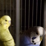 A Pair Of Baby Budgies 28 Weeks Old