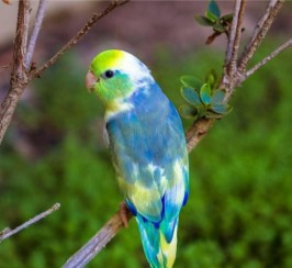Baby Parrotlets  In All Colours