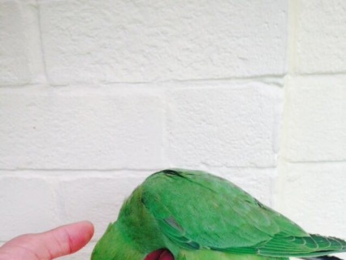 Hand Tame Indian Ringneck Talking Parrot