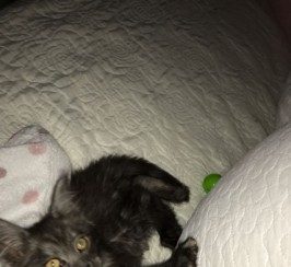 Beutiful Maine Coon Kitten
