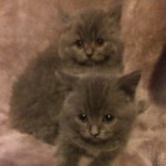 Beautiful British Blue Shorthair Kittens