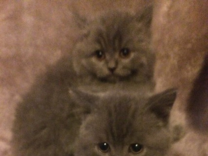 Beautiful British Blue Shorthair Kittens