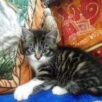 Beautiful Half British Shorthair Kitten.