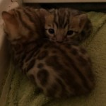 Stunning Tica Brown Rosetted Pedigree Kittens