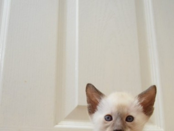 ***6 Gorgeous Gccf Reg Siamese 2 Left***
