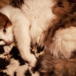 Amazing Fluffy Maine Coon Kittens For Sale