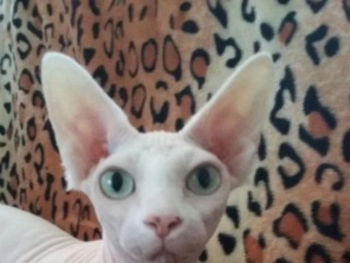 Canadian Sphynx Active For Sale
