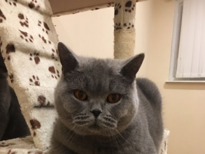 Amazing Bsh Kittens For Sale!!