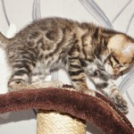 Quality Bengal Boy Kitten Pet Or Active Reg