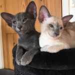 Blue Point Siamese Female