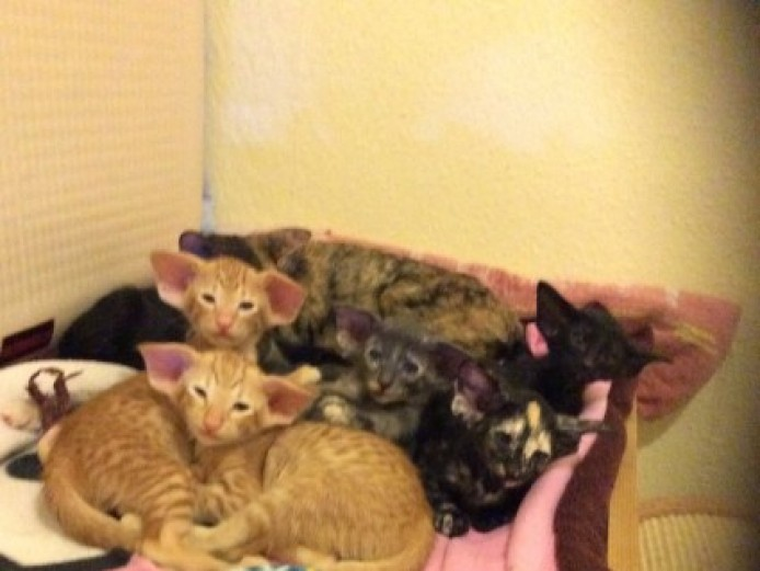 Stunning Litter Of   7   Kittens(all Reserved)