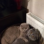 Beautiful Show Quality Scottish Fold Kittens