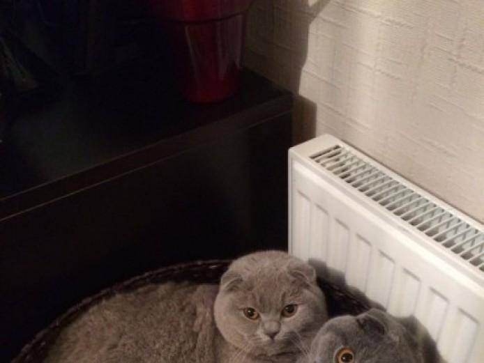 Beautiful Show Quality Scottish Fold Kittens
