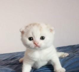 Gorgeous Scottish Fold Kittens