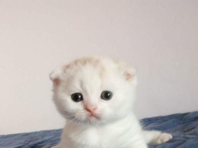 Gorgeous Scottish Fold Kittens