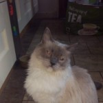Ragdoll Blue Point Mitted