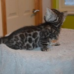 Stunning Litter Of Tica Bengal Babies 2 Boys Left