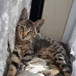 Female F3c Savannah Kitten