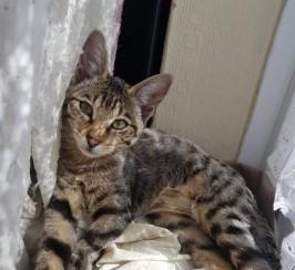 Female F3c Savannah Kitten