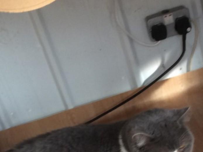 7 British Shorthaired Kittens.