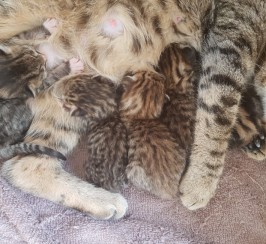2 Beatiful Male Bengal Cross Kittens Left
