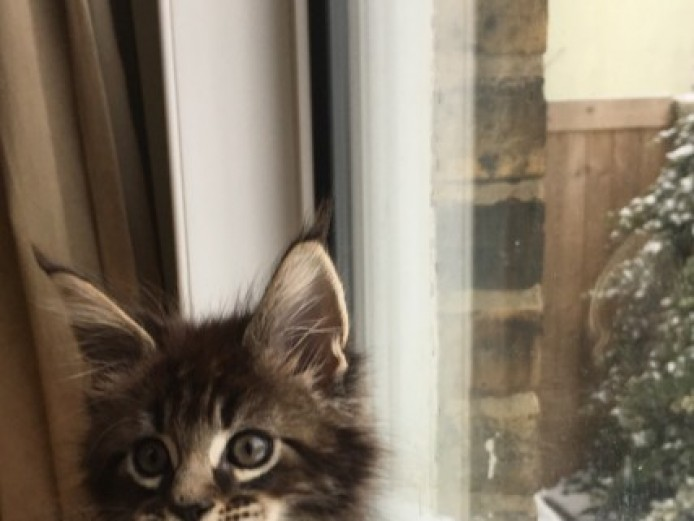 Maine Coon Kitten - Active Male - Gccf