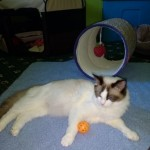 Pedigree Ragdoll Kittens All Sold